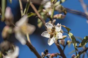 Honigbiene in Mandelblüten. Biene auf Mandelblüte foto