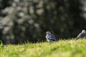 ein kleiner Vogel, weiße Bachstelze, Motacilla alba, die auf einem grünen Rasen geht foto