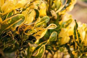 der Hintergrund der Blätter, die gelb werden foto