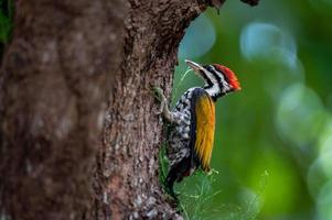 Nahaufnahme von gewöhnlichem Flammenrücken oder gewöhnlichem Goldrücken oder Specht auf Baum, Vogelbaby. foto