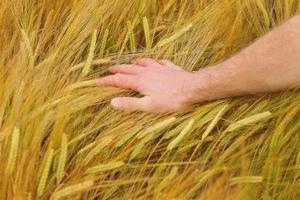 Hand auf Weizen foto