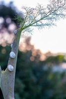 Schnecken kriechen auf einer Pflanze am Ufer des Larnaca-Salzsees in Zypern foto