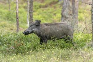 weibliches wildes Schwein im Wald foto