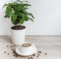 Sprossen von Kaffeepflanzenbaum in einer Kanne Tasse Kaffee und gerösteten Kaffeebohnen foto