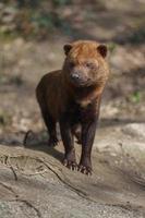 Porträt des Buschhundes foto