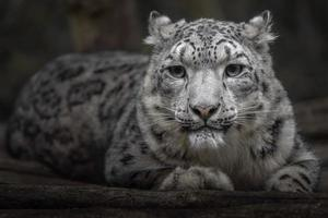 Schneeleopard Irbis foto