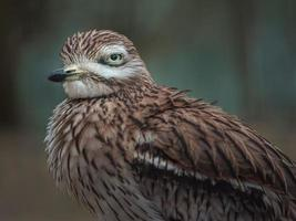 eurasischer Brachvogel foto