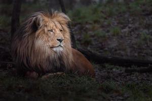 Porträt des Katanga Löwen foto