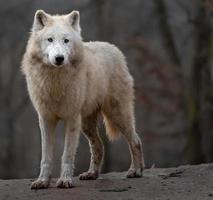 Porträt des arktischen Wolfes foto