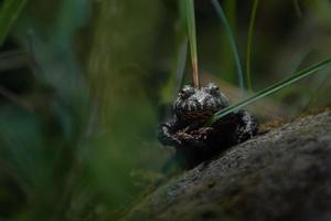 orientalische Feuerbauchkröte foto