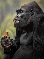 westlicher Gorilla essen foto