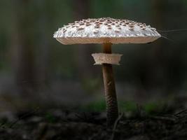 Sonnenschirmpilz im Wald foto
