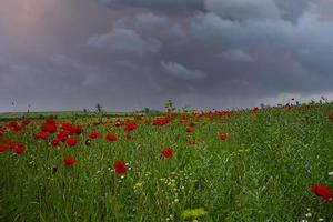 rote Mohnblumen auf einem Feld unter einem bewölkten Himmel foto