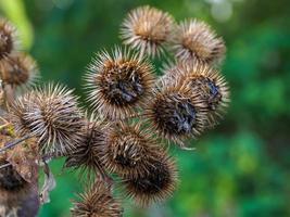 fertige Kletten-Arctium-Blüten im Herbst foto