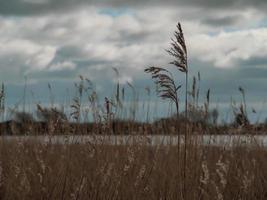 Schilf bei Wheldrake Ings North Yorkshire England foto