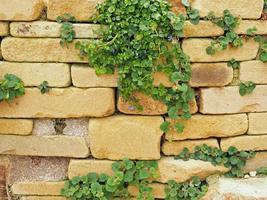 Steingartenmauer mit einer Campanula-Pflanze im Frühjahr foto
