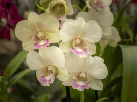 vier schöne hell cremefarbene Orchideenblüten foto