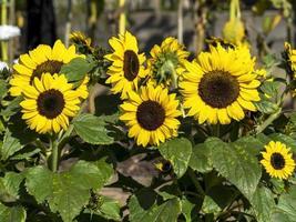 Zwerg Sonnenblumen Sorte Bambino in voller Blüte foto