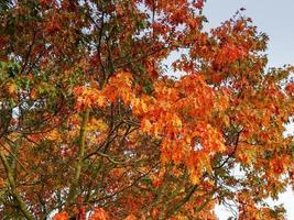 orange Herbstlaub auf einer Eiche foto