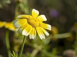gelbe und weiße Blume, die Sonnenlicht in einem Garten fängt foto