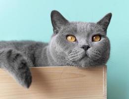 süße graue Katze, die in einer Kiste liegt foto
