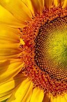 Porträt einer Sonnenblume auf dem Feld foto