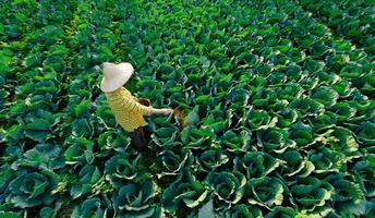 weibliche Gärtnerhand, die Kohlgemüsepflanze auf der Plantage chemischen Dünger gibt foto