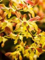 Orchidee in der Natur foto
