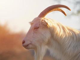 brauner und weißer Ziegenbock mit langem Fell und Hörnern foto