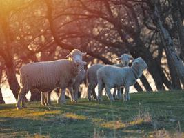 Schafherde auf frischer Frühlingsgrünwiese während Sonnenaufgang foto