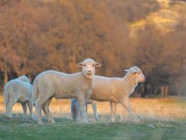 junges Lamm, das auf Bauernhof neugierig ist foto