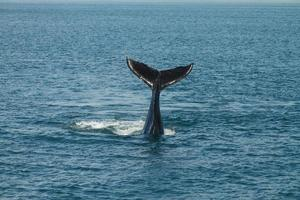 ein junger buckelwal megaptera novaeangliae schwenkt seinen schwanz aus dem atlantischen ozean foto