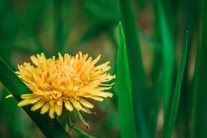 schließen Sie gelben Löwenzahn im grünen Gras foto