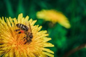 Biene nah oben auf gelbem Löwenzahn foto