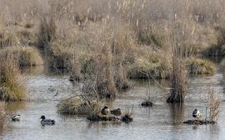Schilfinsel mit Gras und schwimmenden Gänsen und Enten foto