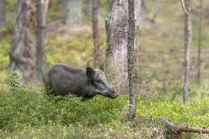 weibliches wildes Schwein im Wald beim Essen zwischen Blaubeersträuchern foto