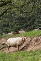 Ein weißes Schaf steht auf einer Wiese vor einem Hang foto