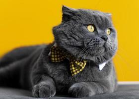 entzückende britische Kurzhaar-Katze mit monochromer Wand hinter ihr foto