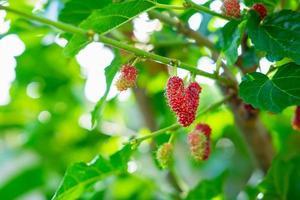 Maulbeerbaum und frische Maulbeerfrüchte foto