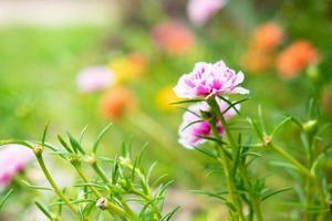 Purslane Blumenhintergrund foto