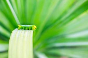 grüner Wurm auf dem Blatt foto