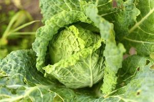 Weißkohlgarten wächst lwafy Gemüse Ehrlichkeit Bio foto