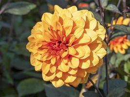 Nahaufnahme einer schönen orange doppelten Dahlienblüte foto