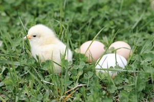 Küken Hühnereier Farm Gras Ostern glückliche Natur foto