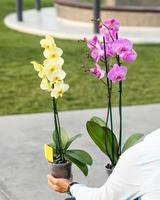 schöne gelbe und rosa Mottenorchideen mit grünem Hintergrund foto