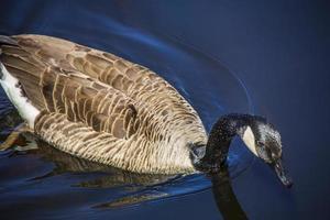 Kanadische Gans, die auf dem Wasser eines Teiches schwimmt foto