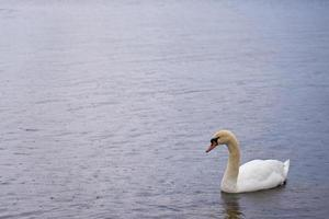 weißer Schwan an der Ostseeküste in Finnland foto