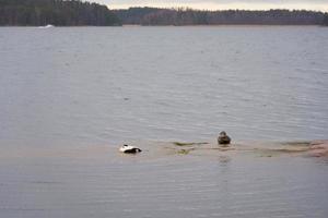 Enten an einem felsigen Ufer an der Ostseeküste foto