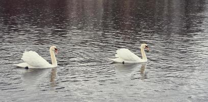 weiße Schwanenfamilie an der Ostseeküste in Finnland foto