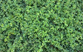 natürliche grüne Blätter Hintergrund Baby Baumkrone foto